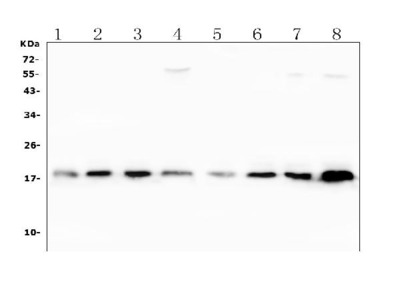 Anti-Superoxide Dismutase 1/SOD1 Picoband Antibody