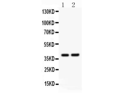 Anti-SOX1 Picoband Antibody