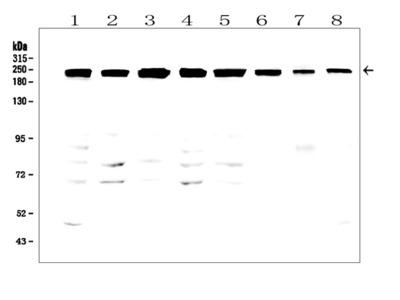 Anti-TJP1 Antibody