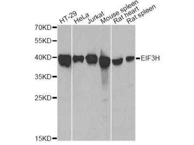 EIF3H Polyclonal Antibody