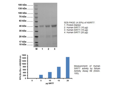 Active SIRT7, human recombinant