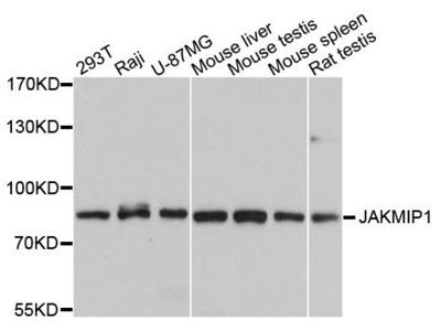 JAKMIP1 Polyclonal Antibody