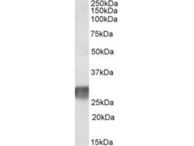 GOAT ANTI HUMAN CD305