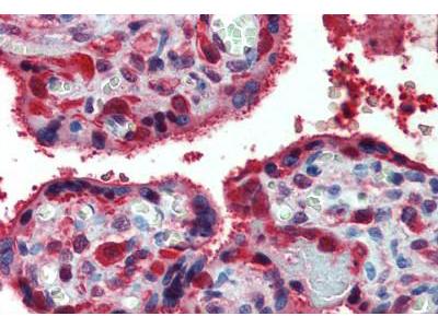 Goat Anti-PRDX1 / Peroxiredoxin 1 Antibody