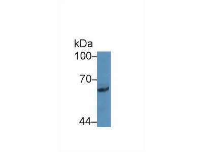 Polyclonal Antibody to Protocadherin Beta 2 (PCDHb2)