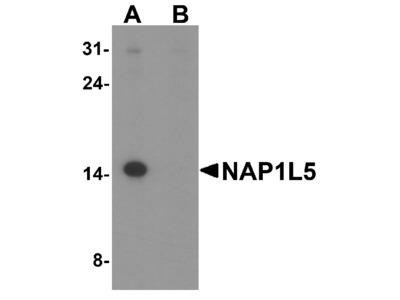 NAP1L5 Antibody
