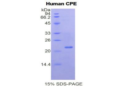 Recombinant Carboxypeptidase E (CPE)