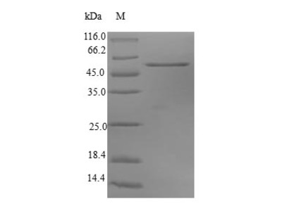 Recombinant Human Synaptosomal-associated protein 29 (SNAP29)