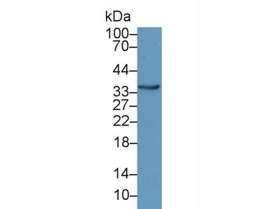 Polyclonal Antibody to Crystallin Lambda 1 (CRYl1)