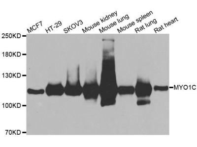 MYO1C Polyclonal Antibody