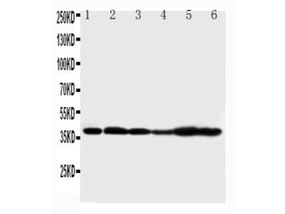 Anti-Connexin 37/GJA4 antibody