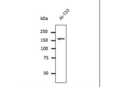 CLTC / Clathrin Heavy Chain Antibody