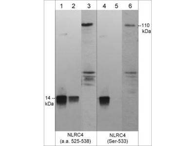 NLRC4 (Ser-533), phospho-specific