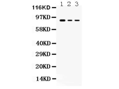 Anti-Ataxin 1/ATXN1 Antibody Picoband