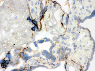 Anti-WASP Antibody Picoband