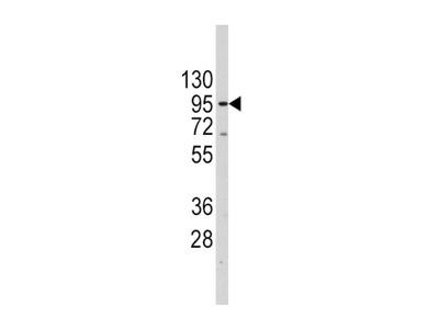 anti TERT (627-656)