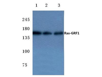 Rabbit Anti-Ras-GRF1 Antibody