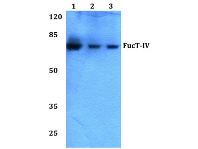 Rabbit Anti-FucT-IV Antibody