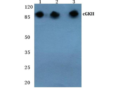Rabbit Anti-cGKII Antibody