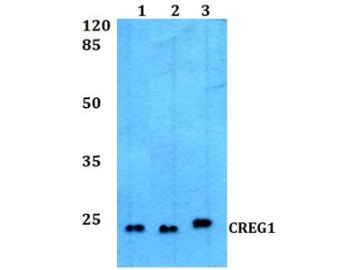 Rabbit Anti-CREG1 Antibody