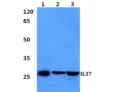 Rabbit Anti-IL37 Antibody