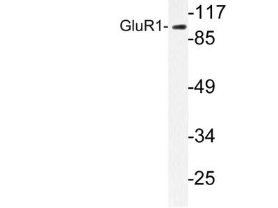 Rabbit Anti-GluR1 Antibody