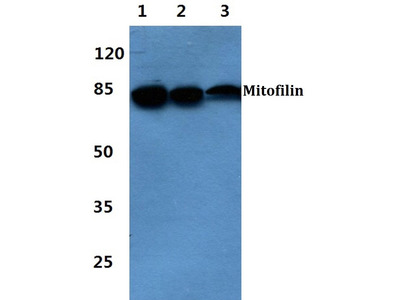 Rabbit Anti-Mitofilin Antibody
