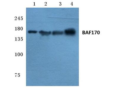 Rabbit Anti-BAF170 Antibody