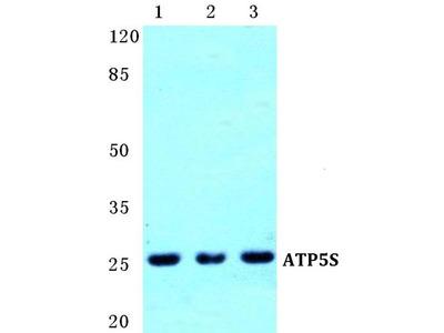 Rabbit Anti-ATP5S Antibody