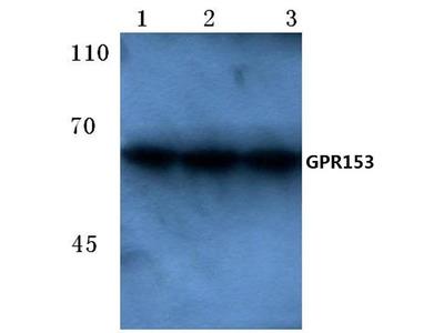 Rabbit Anti-GPR153 Antibody