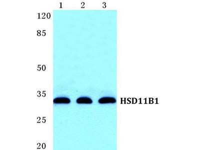 Rabbit Anti-HSD11B1 Antibody