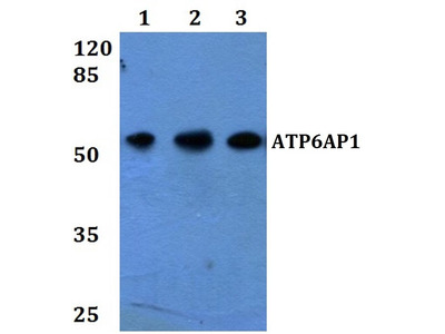 Rabbit Anti-ATP6AP1 Antibody