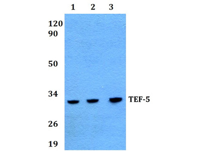 Rabbit Anti-TEF-5 Antibody