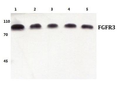 Rabbit Anti-FGFR3 Antibody