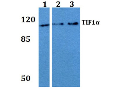 Rabbit Anti-TIF1alpha Antibody