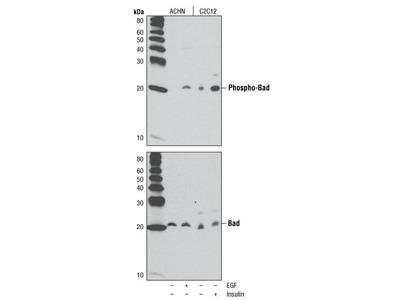 Rabbit Anti-Bad, phosphorylated Antibody
