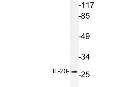 Rabbit Anti-IL-20 Antibody