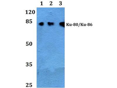 Rabbit Anti-XRCC5 Antibody
