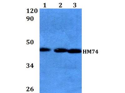 Rabbit Anti-HM74 Antibody