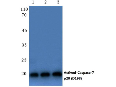Rabbit Anti-Caspase 7 Antibody