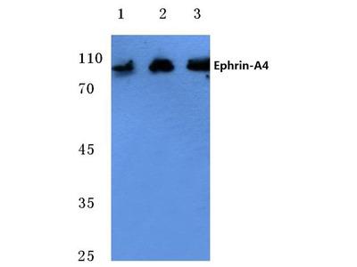 Rabbit Anti-Ephrin-A4 Antibody