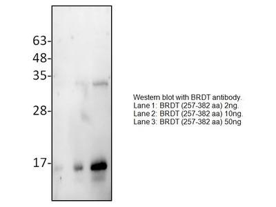 Rabbit Anti-BRDT Antibody