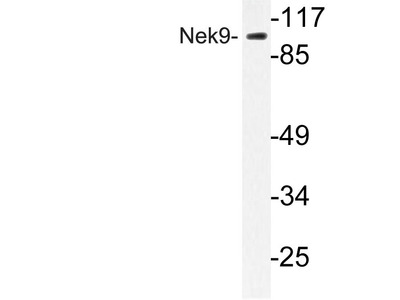 Rabbit Anti-Nek9 Antibody