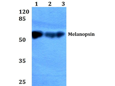 Rabbit Anti-Melanopsin Antibody