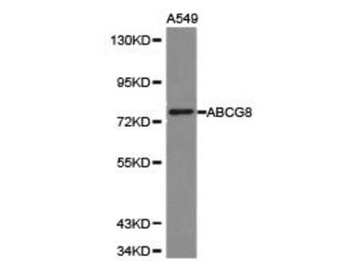 Rabbit Anti-ABCG8 Antibody