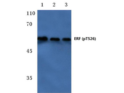 Rabbit Anti-ERF, phosphorylated Antibody