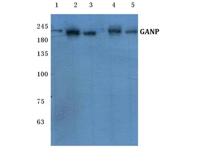 Rabbit Anti-GANP Antibody