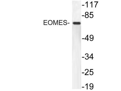 Rabbit Anti-EOMES Antibody