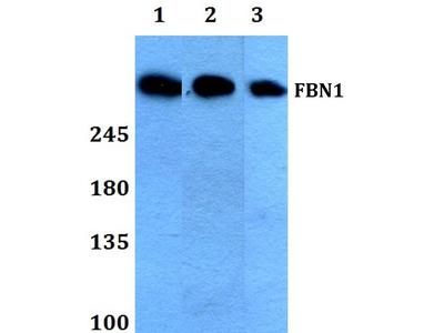 Rabbit Anti-FBN1 Antibody