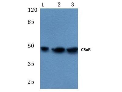 Rabbit Anti-C5aR Antibody